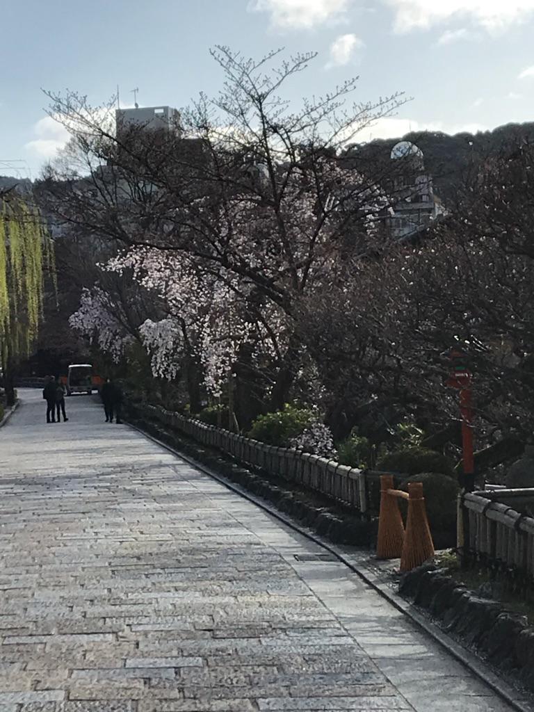 白川桜2 (1)